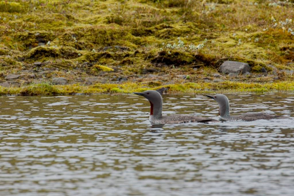 Read throated diver