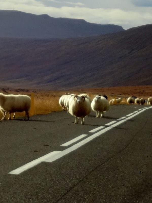 Sheep on highway