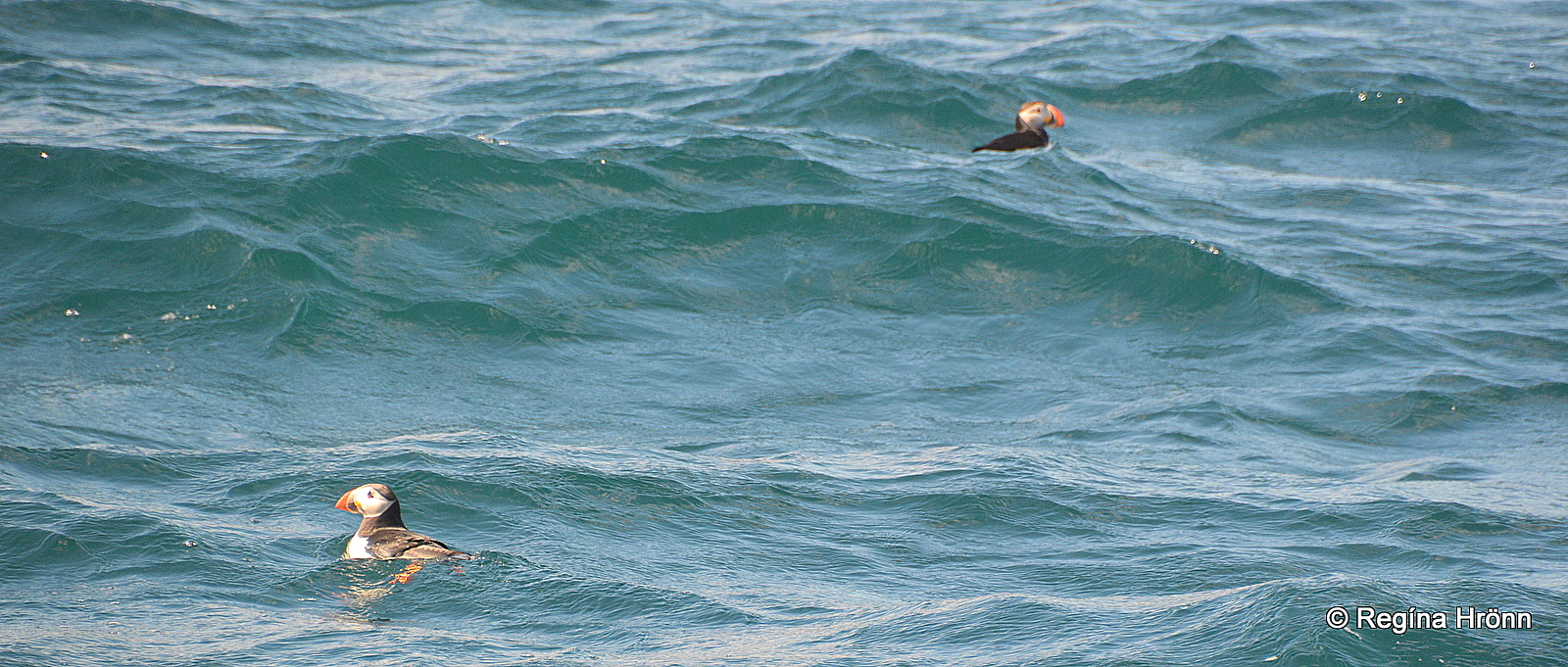 Two puffins swimming in the ocean by Iceland