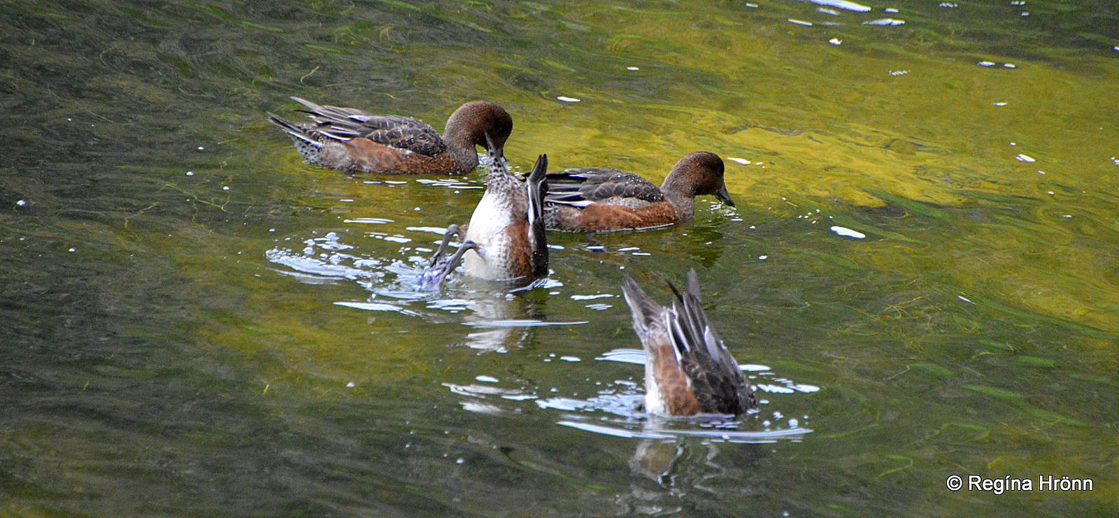 Ásbyrgi - Botnstjörn pond - wigeons on the pond